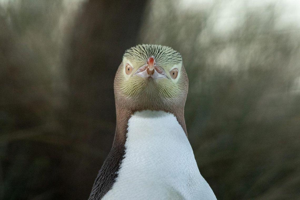 Penguin Place, Dunedin in Neuseeland